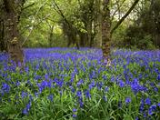 Brampton Wood Bluebells