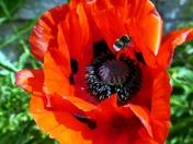 Poppies in my garden