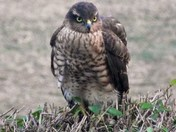 Sparrowhawk spotted in our garden