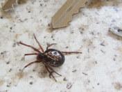Arrival of a flase widow spider in East Devon