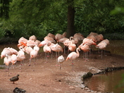 Chilean Flamingos in Paignton Zoo