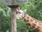Rothschilds Giraffe at Paignton Zoo
