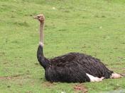 Ostrich in Paignton Zoo