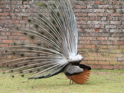 A peacock from the rear at Paignton Zoo