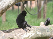 sulawesi crested macaque at  Paignton Zoo
