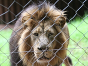 Lion at Paignton Zoo