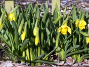 First daffodils of 2013