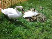 Swan nesting