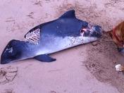 Dog buries washed up porpoise???