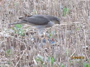 Goshawk or Sparrowhawk please??