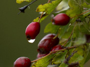Email Request for Autumn Photographs – DSC4218 - Water Droplet on Hawthorne Be