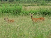 Roe deer and her twins