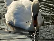 Swans feeding and reflecting..
