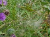 Thistle Cobwebs