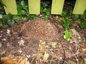 Hedgehog release.