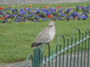 Clarence Collared Dove.