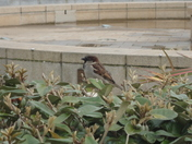 Seafront Sparrows.
