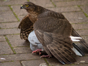 Sparrowhawk hunt