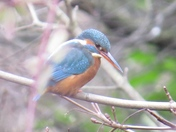 Kingfisher in Valentines Park