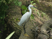 Little Egret,  River Ingrebourne , Hornchurch, Monday 9th June 2014