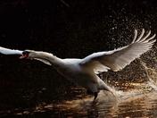 Mutes Swans rising to Spring