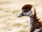 First spring chicks