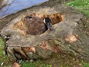 Goose nesting in tree stump