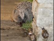 The Garders friend the Hedgehog