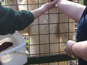 FEEDING THE WHITE LIONS AT PARADISE WILDLIFE PARK