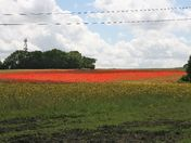 Poppy Field in Biggin Hill