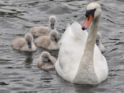 swan with her five cygnets