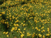 Daffodil in Valentines Park, Ilford