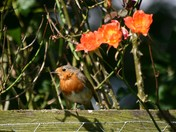 Robin in the Roses