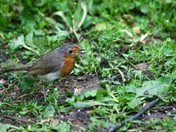 Robin busy in the garden