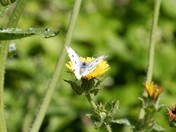 White butterfly on dandelion
