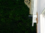 Young Tawny Owl on garage roof