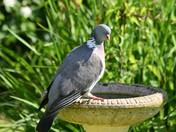 Pigeon at the bird bath