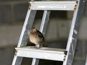 Blackbird leaving the nest
