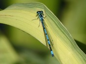 Blue damselfly soaking up the sun