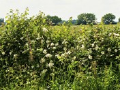 White wild roses in the hedgerow