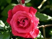 Rose in dappled summer sunshine