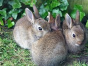 Baby rabbits snuggling