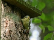 Baby Bluetit leaving the nest box for the first time