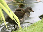 Moorhen taking a bath