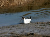 Little Gull on the River Deben