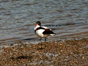 Shelduck  on river bank