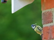 Blue Tit feeding young
