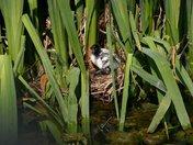 White moorhen chick