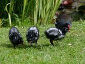 Moorhen and three youngsters