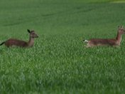 Deer in farmers field